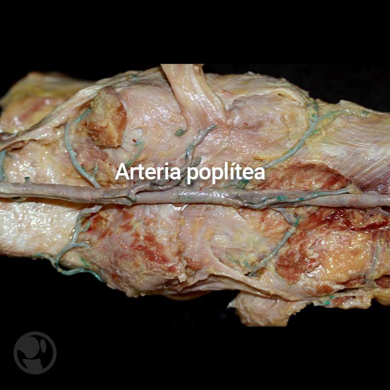 Arteria popilea